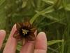Chocolate Lily, Alaska
